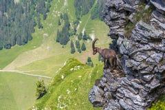 Capricornio alpino adulto del cabra montés del capra que se coloca en roca con el valle v foto de archivo libre de regalías