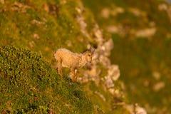 Capricornio alpino del cabra montés del bebé que se coloca de mirada abajo en la montaña mea Fotografía de archivo