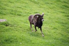 Capricorno alpino Antler Aries Running fotografie stock libere da diritti