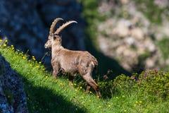 Capricorno alpino dello stambecco del maschio adulto che sta nel prato verde, sunsh Immagine Stock Libera da Diritti