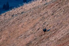 Capricorno selvaggio nelle alpi svizzere fotografia stock