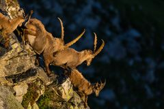 Capricorns alpinos del cabra montés del capra que corren abajo de un acantilado en sol de la mañana Fotografía de archivo libre de regalías