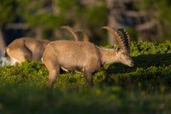 2 capricorns ibex capra взрослых мужчины просматривать высокогорных в вечере Стоковая Фотография RF