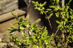 Caprifoglio di fioritura Fotografia Stock Libera da Diritti