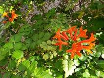 Caprifoglio di fioritura dell'Arizona immagini stock