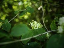 Caprifoglio di mosca di fioritura, xylosteum del Lonicera fotografia stock libera da diritti