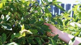 Caprifoglio di raccolto dal cespuglio nel giardino stock footage