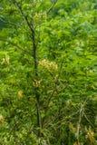 Caprifoglio giallo e foglie verdi Immagini Stock