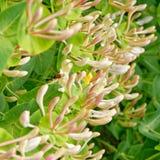 Caprifolium do Lonicera com hoverfly imagem de stock
