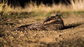 Caprimulguseuropaeus Royaltyfri Fotografi