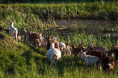 Caprine. Goat herd in green meadow royalty free stock photography
