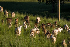 Caprine. Goat herd in green meadow royalty free stock images