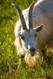 Caprine. Goat herd in green meadow royalty free stock photos