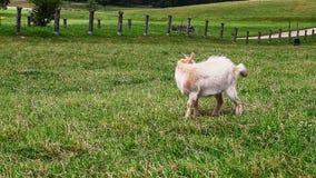 Caprine grazing in meadow stock video