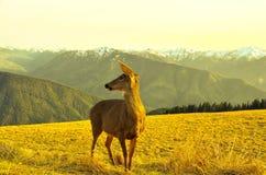Caprioli nelle montagne Fotografia Stock Libera da Diritti