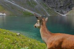 Caprioli sul lago delle montagne Immagine Stock