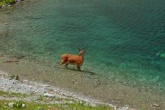 Caprioli in Tatras Fotografia Stock Libera da Diritti