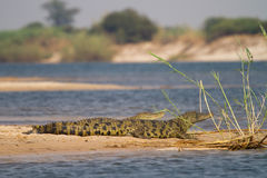 Caprivi crocs Royalty Free Stock Photo