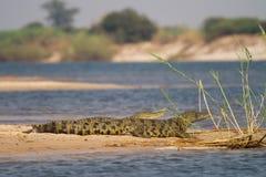 Caprivi crocs Royalty-vrije Stock Foto