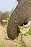 Caprivi elephant trunk Stock Images
