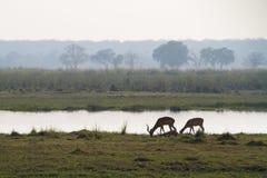Caprivi impalas Royalty Free Stock Images
