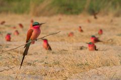 Caprivi perching bee-eater Royalty Free Stock Photo