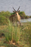 Caprivi reedbuck Royalty Free Stock Images