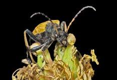 Caprocorn甲虫(Brachyta bifasciata) 8 免版税图库摄影