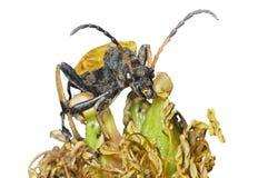 Caprocorn beetle (Brachyta bifasciata) 9 Stock Images