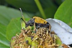 Caprocorn skalbagge (den Brachyta bifasciataen) 1 Arkivfoto
