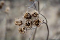 Caps burdock, after winter. Birdseed, seeds. burdock oil after the winter.Bur.burdock Royalty Free Stock Images