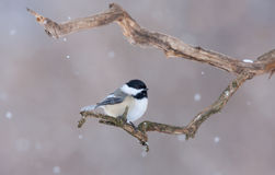 caps chickadee black Fotografia Royalty Free