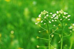 Capsella Бурса-pastoris Стоковое Изображение