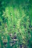 Capsella bursa-pastoris eller herdes handväska Royaltyfri Bild