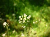 Capsella Bursa-pastoris, flor del monedero de la señora fotografía de archivo