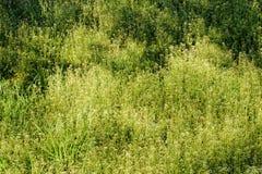 Capsella Bursa-pastoris Flowers Stock Image