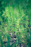 Capsella bursa-pastoris or Shepherd's Purse Royalty Free Stock Image