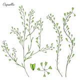 Capsella flower, Shepherd`s purse, Capsella bursa-pastoris, the entire plant, hand drawn graphic vector colorful Royalty Free Stock Photography