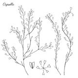 Capsella flowers, Shepherd`s purse, Capsella bursa-pastoris, the entire plant, hand drawn graphic vector botanical Royalty Free Stock Images