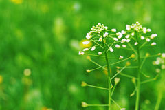 Capsella slijmbeurs-pastoris Stock Afbeelding