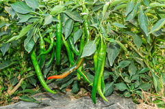 Capsicum annuum Royalty Free Stock Images