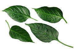 Capsicum annuum pepper leaves, paths. Capsicum annuum chile pepper leaves. Clipping path for each stock photo