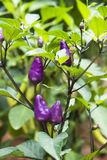 Capsicum annuum plant. Closeup of a plant of capsicum annuum with small purple peppers royalty free stock images