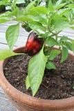Capsicum annuum rosso in un vaso Fotografia Stock