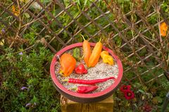 Capsicum in a clay cup in the garden. Capsicum in a clay cup on the background of the garden Stock Photography