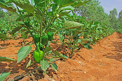 Capsicum Cultivation in India Royalty Free Stock Photography