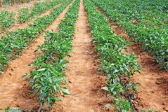 Capsicum Cultivation in India Royalty Free Stock Photo