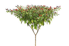 Capsicum dojrzali frutescens Fotografia Stock