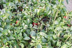 Capsicum farming Royalty Free Stock Image