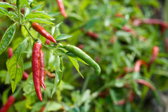 Capsicum field Royalty Free Stock Photography